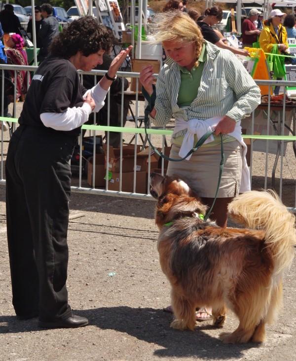 Basset Hound/Golden Retriever/Australian Shepherd Mix