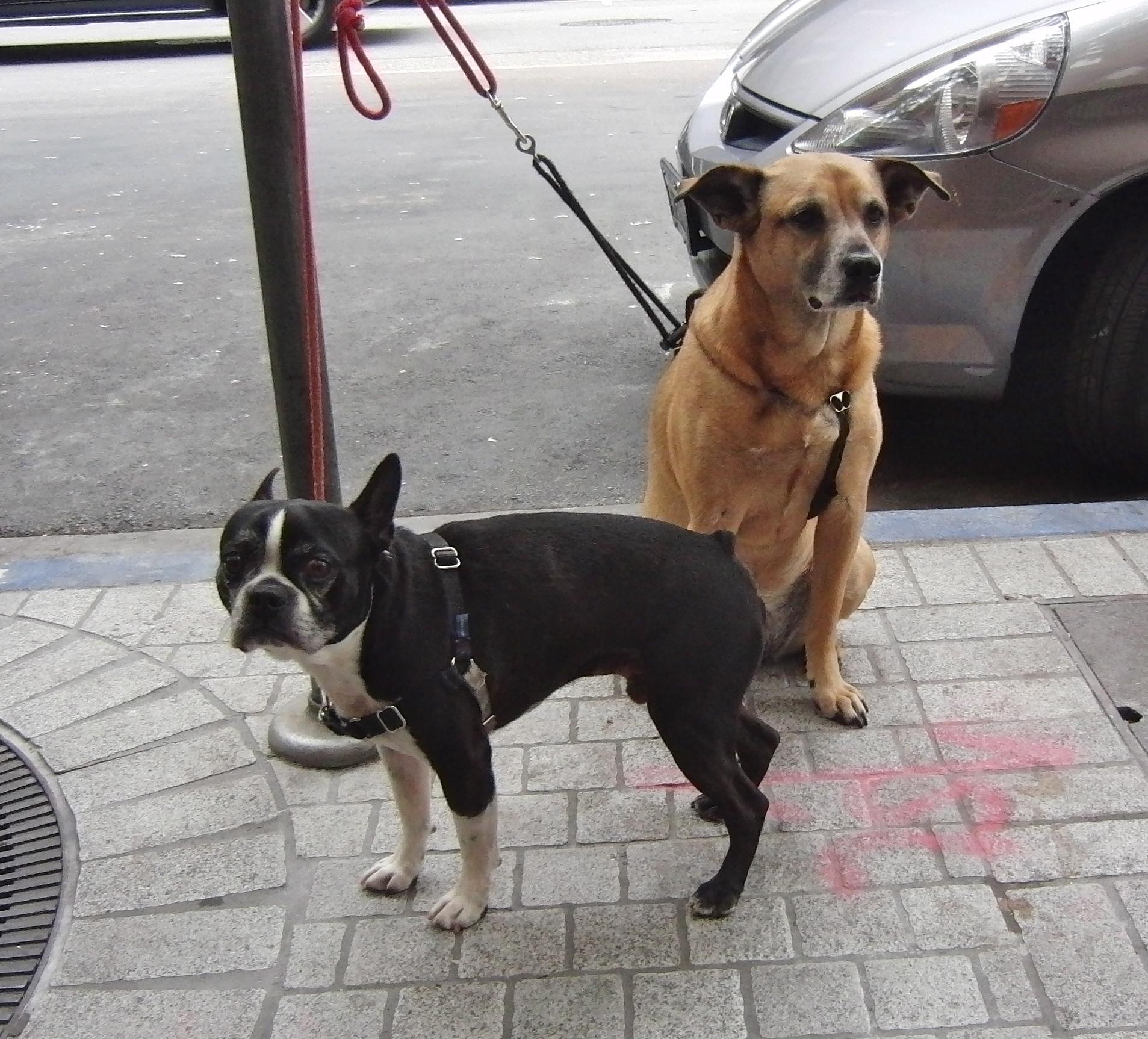 Boston Terrier with Labrador Retriever Mix