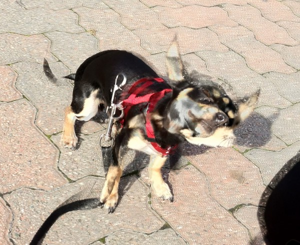 Mutant Chihuahua