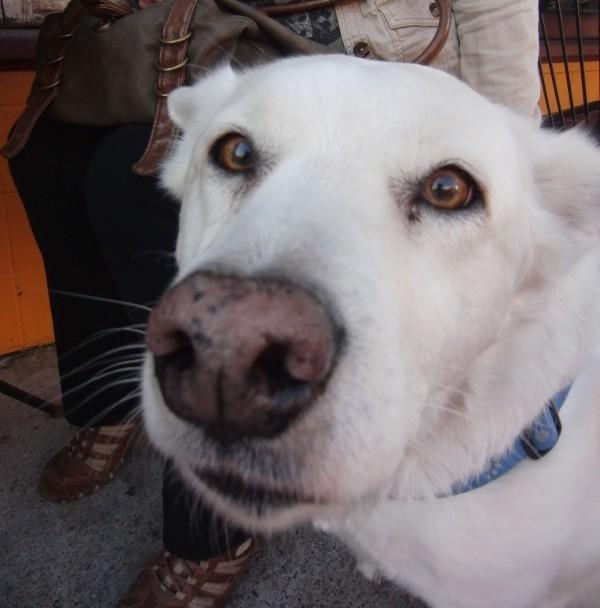 White Mixed-Breed Dog