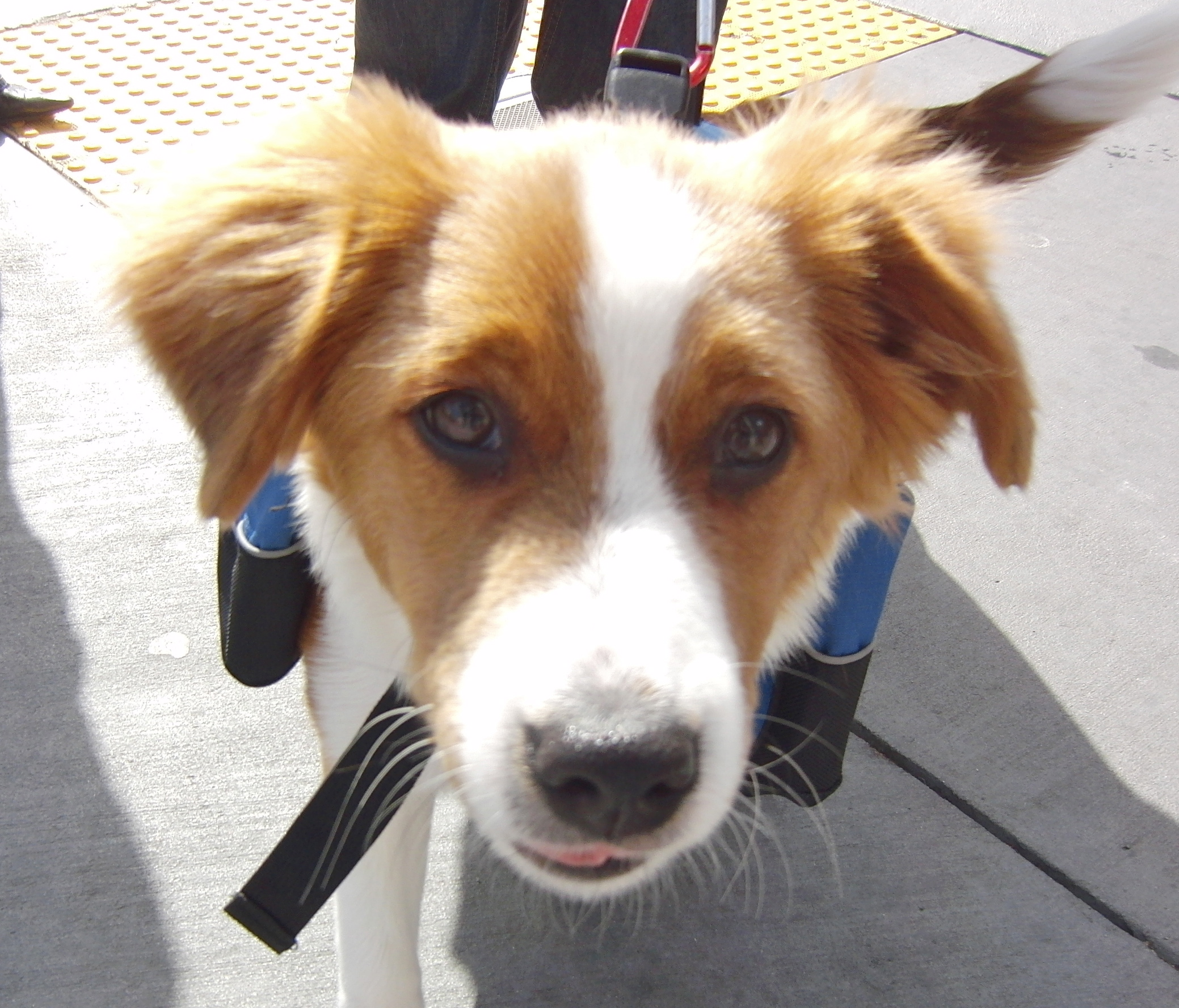 Border Collie Puppy with Pack
