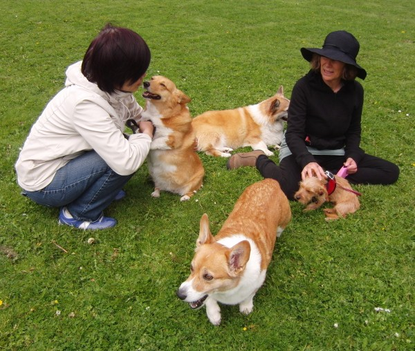 Corgis and Terrier
