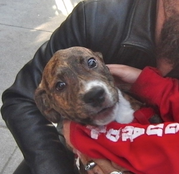 4-Month-Old Pit Bull Puppy