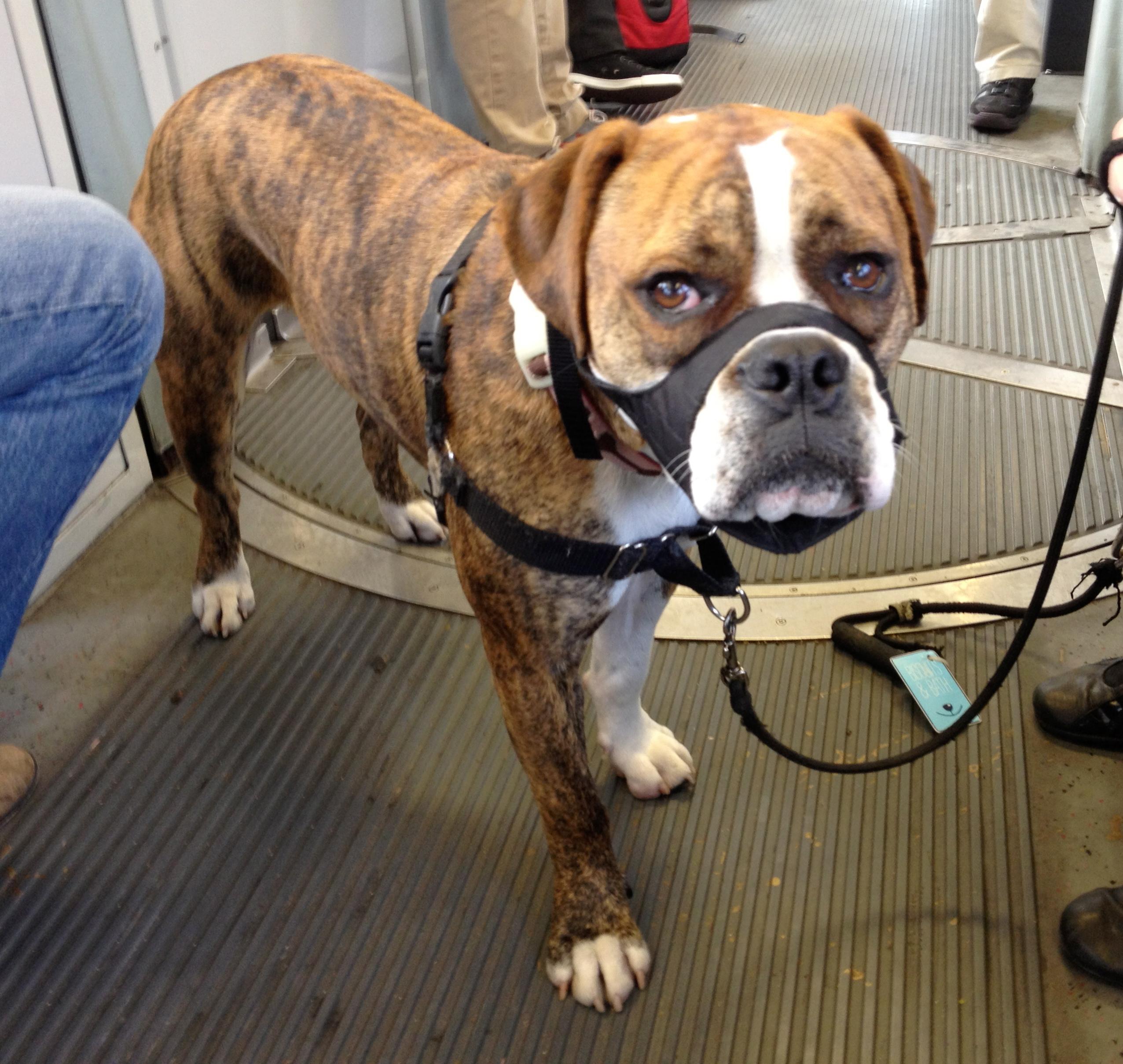 Bulldog/Boxer/American Staffordshire Mix