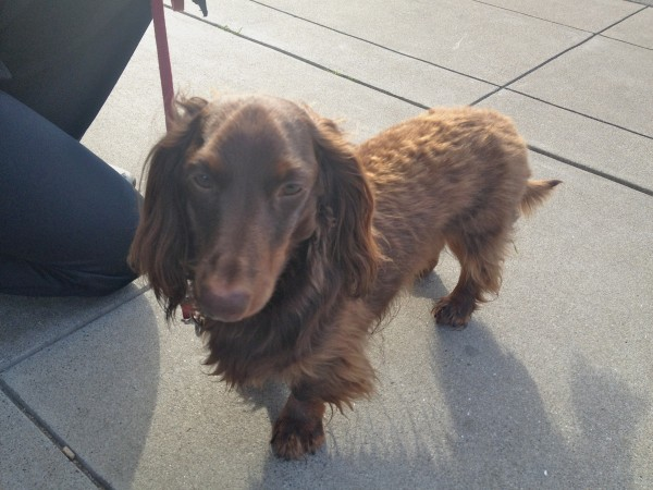 Red Long-Haired Dachshund with Tan Points