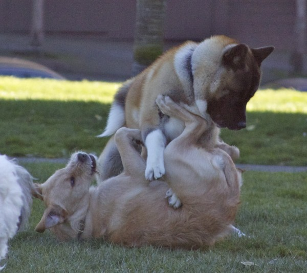 American Akita Inu and Unknown Mixed-Breed Dog