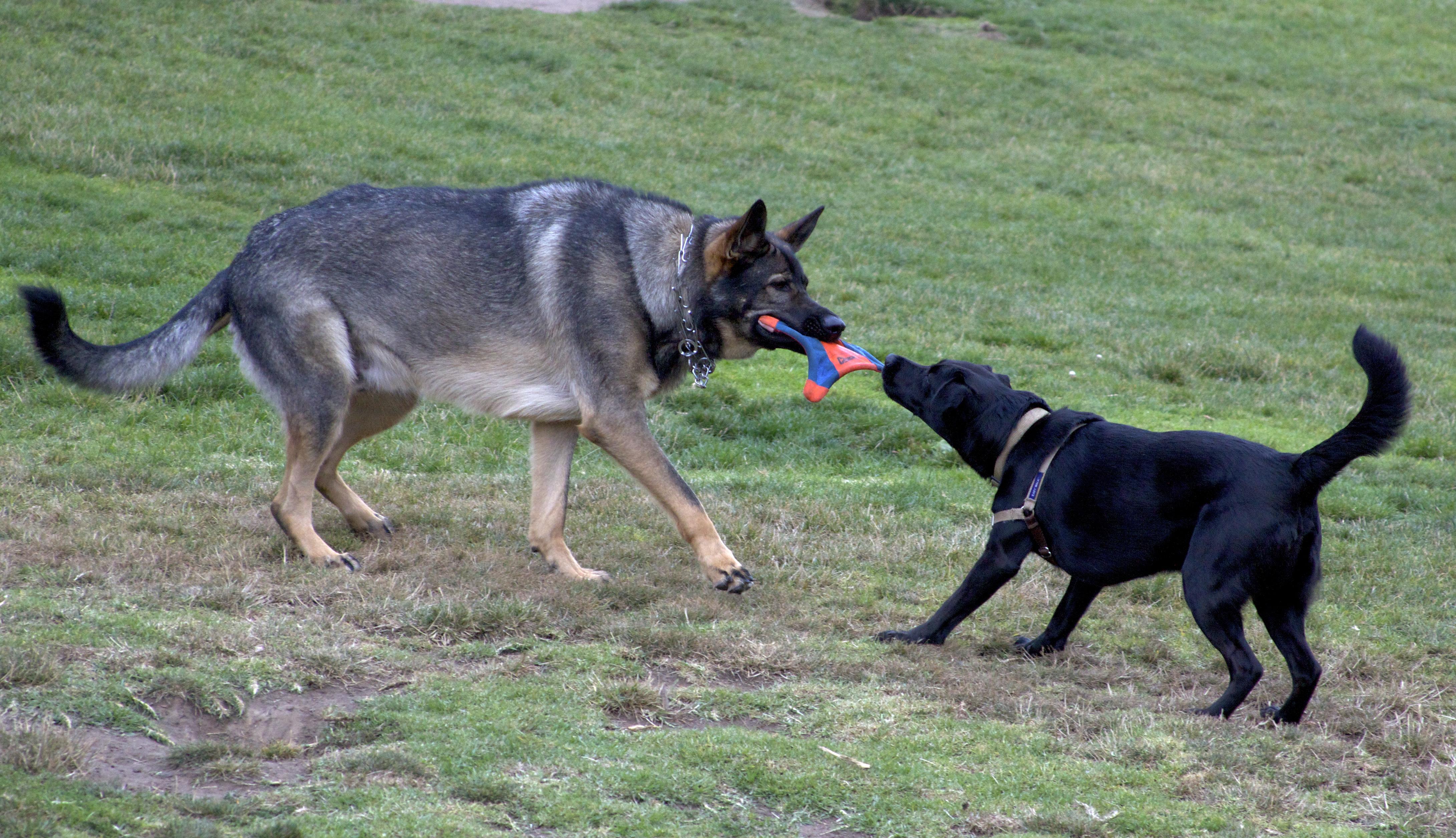 German Shepherd and Lab Puppy