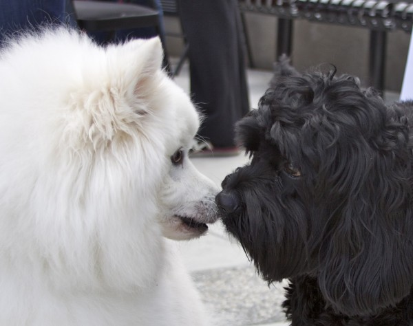 Samoyed and Black Labradoodle