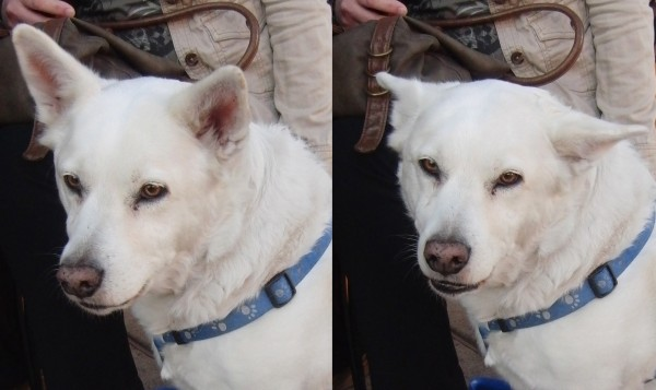 White Mixed-Breed Dog
