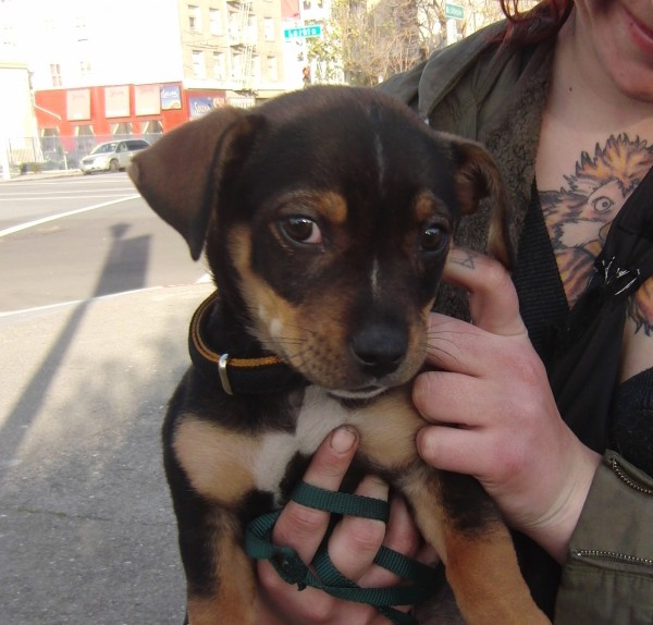 Old Chihuahua/Pit Bull/Dachshund Mix Puppy | The Dogs of San Francisco