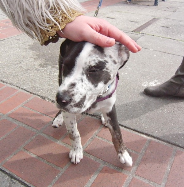 catahoula chihuahua mix dog of the day delta the catahoula leopard dog puppy 217