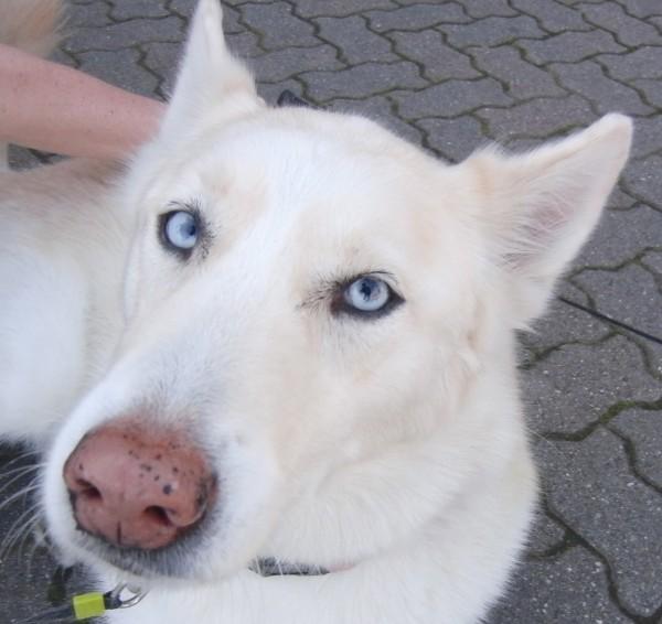 Siberian Husky/German Shepherd Mix and Shih-Tzu