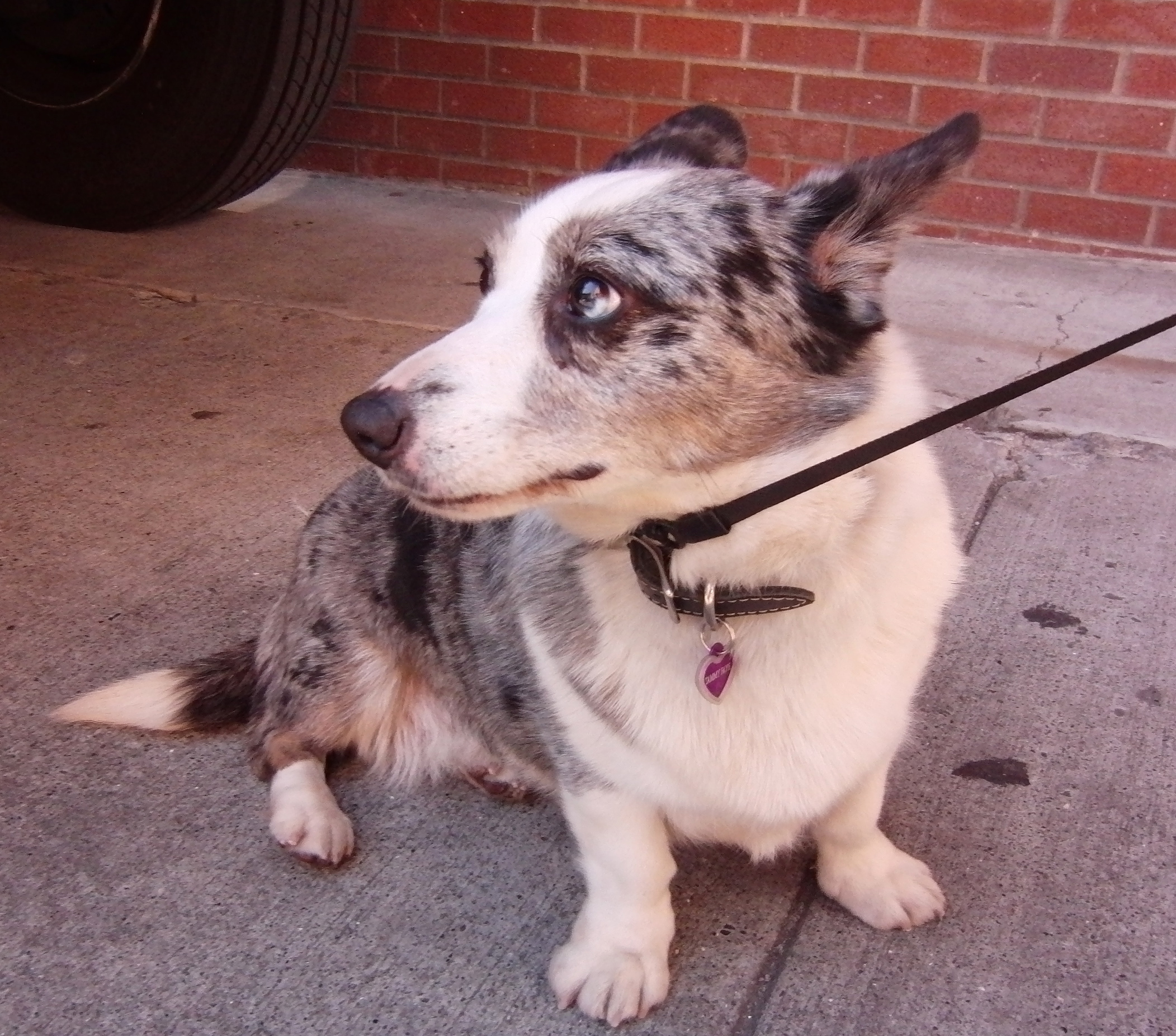 Blue Merle Cardigan Welsh Corgi With Partial Heterochromia