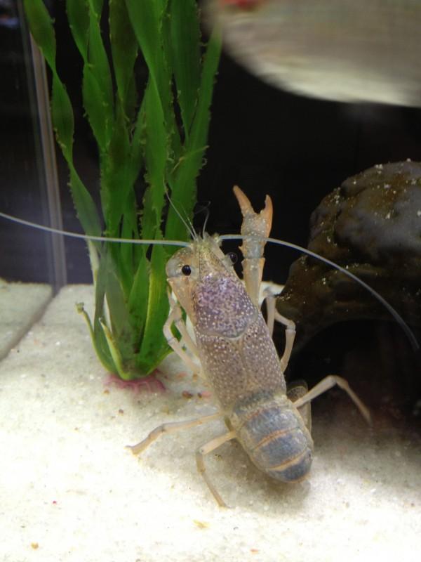 Pet Crayfish