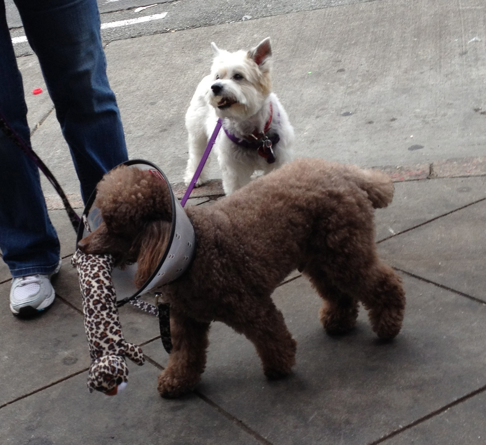 Brown Miniature Poodle and West Highland White Terrier