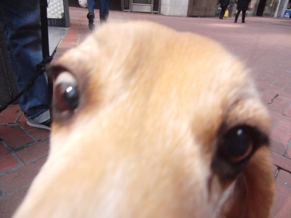 Terrifying Beagle Face