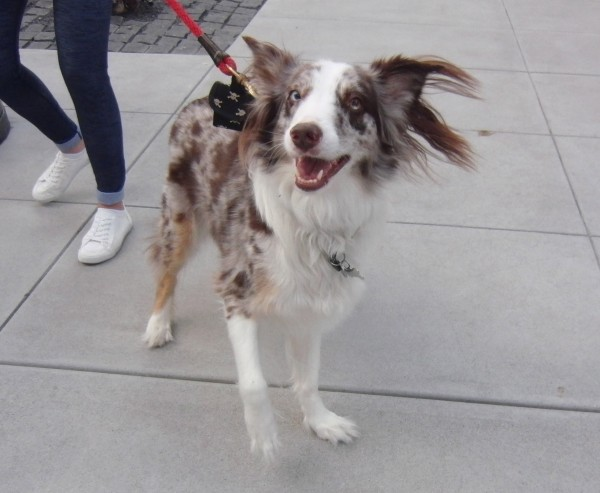 Australian Shepherd with Up Ears
