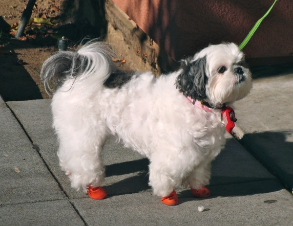 dog of the day shih tzu with red boots the dogs of san