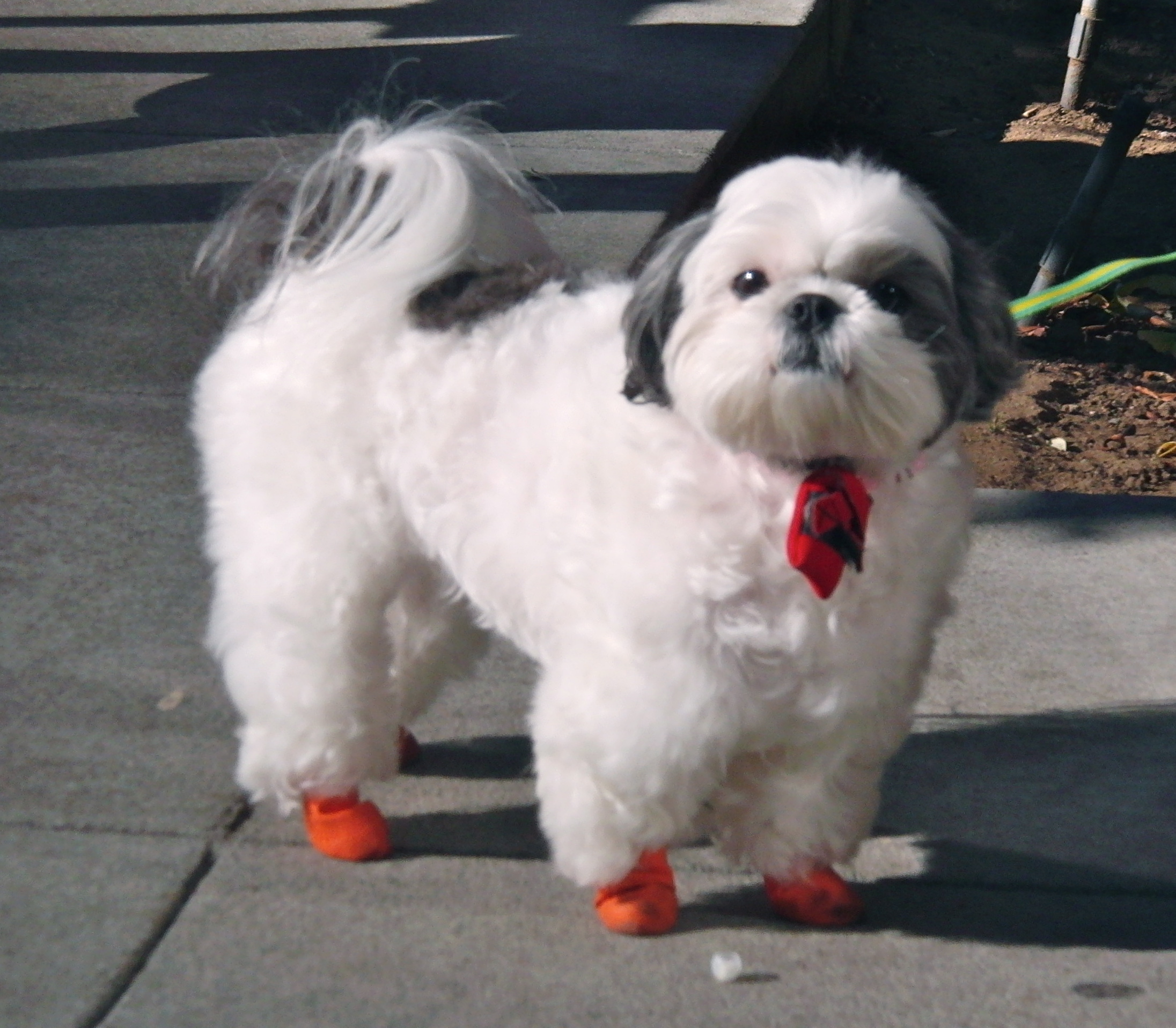 Shih Tzu with Red Boots