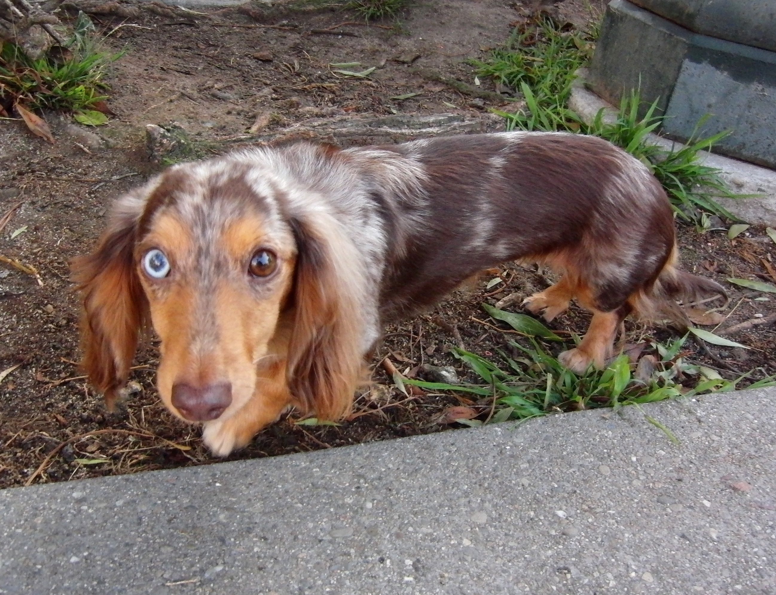 What is a blue basset hound?