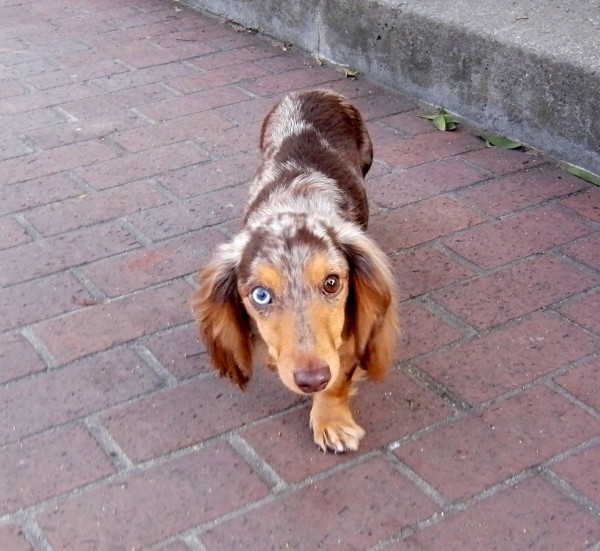 Long-haired Blue Merle Heterochromatic Miniature Dachshund