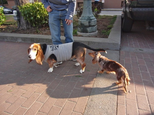 Long-haired Blue Merle Heterochromatic Miniature Dachshund and Basset Hound