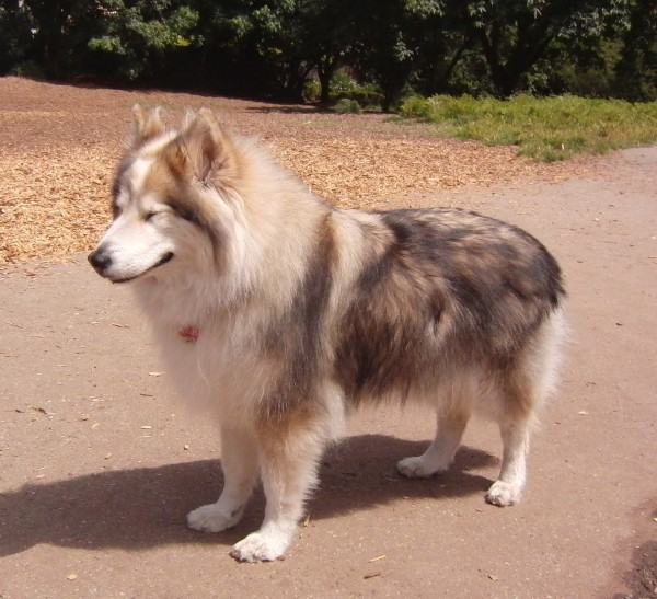 Dog of the Day: Lilah the Husky (With a Dash of Timber Wolf) | The ...