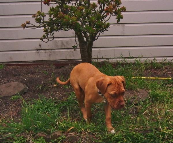 French Mastiff Puppy