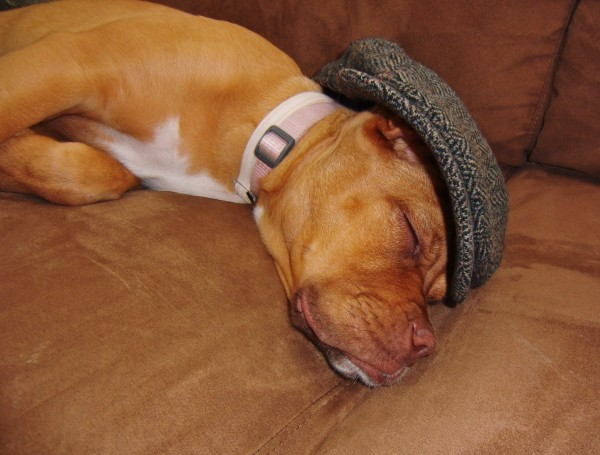 French Mastiff Puppy Sleeping