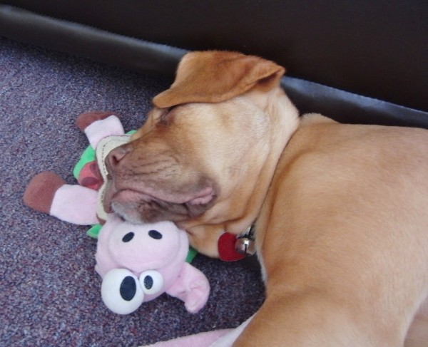 Dogue De Bordeaux Puppy Sleeping