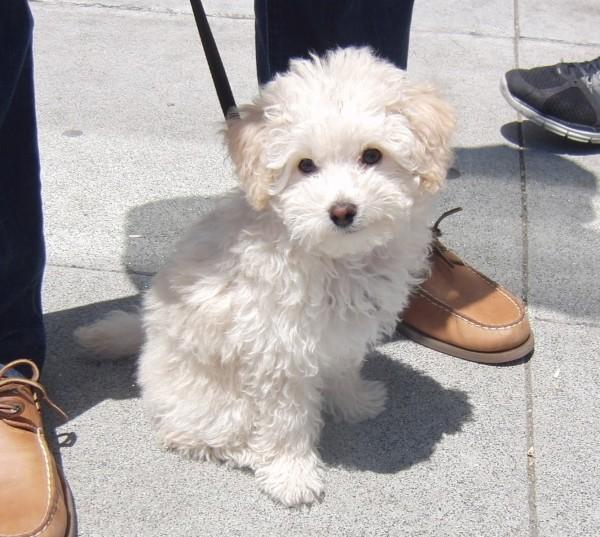 Cocakpoo Puppy