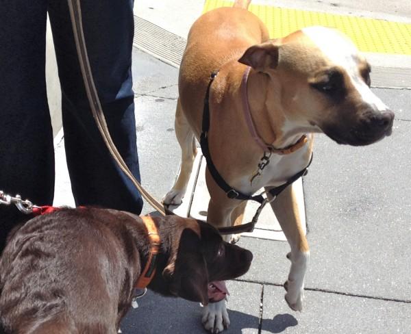 Chocolate Labrador Retriever Puppy and Boxer Mix