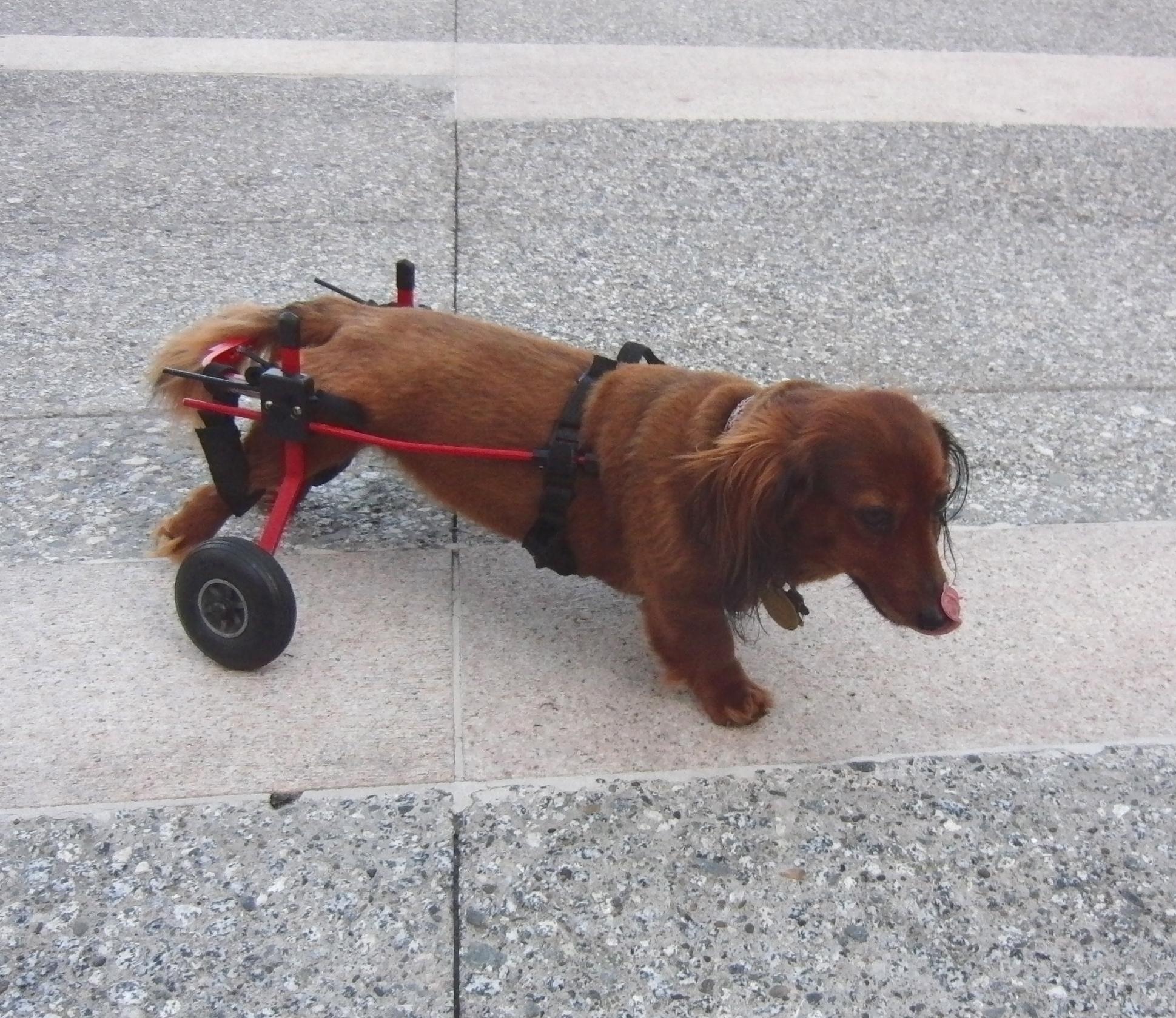 Dachshund with wheels.
