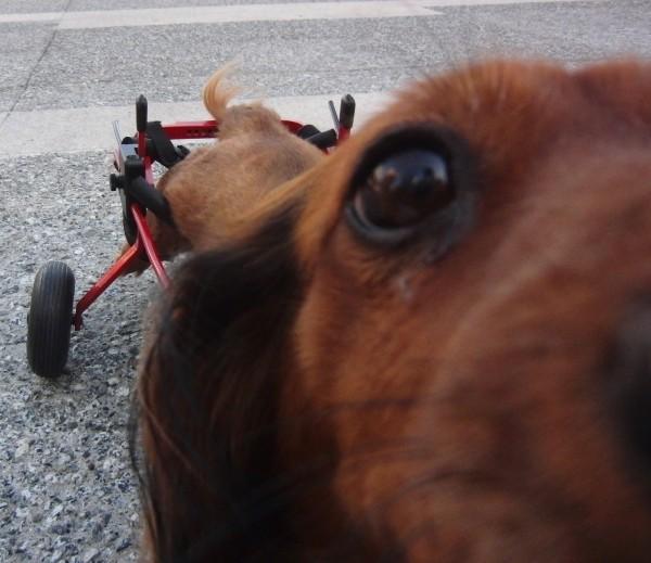 Dachshund With Wheels