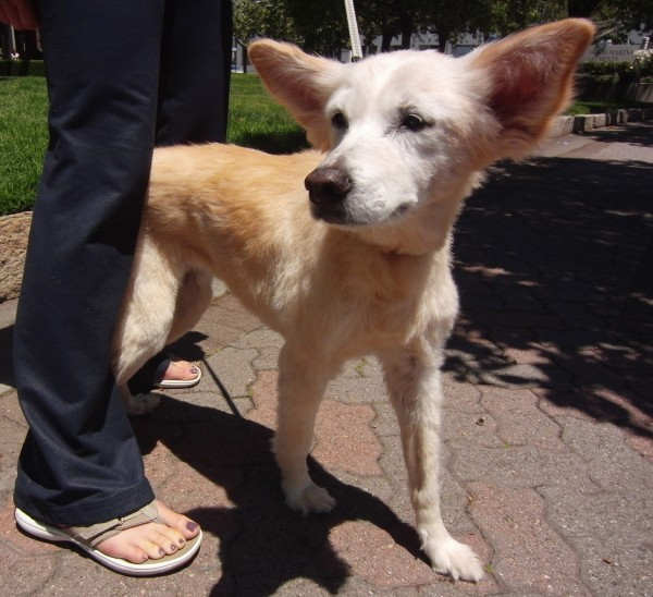 16-Year-Old Indian Spitz