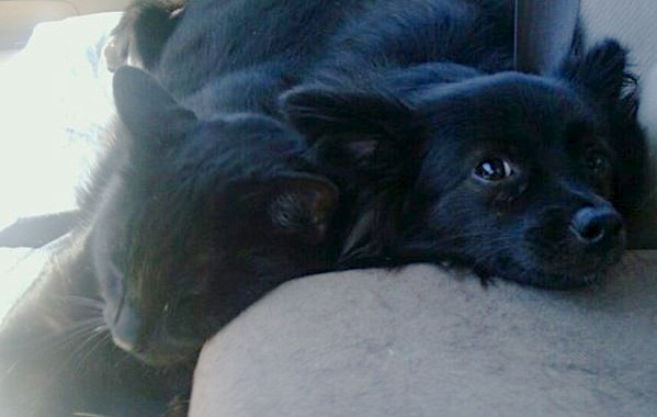 Violet the Schipperke/Pomeranian and Zoolander the Black Cat, Napping