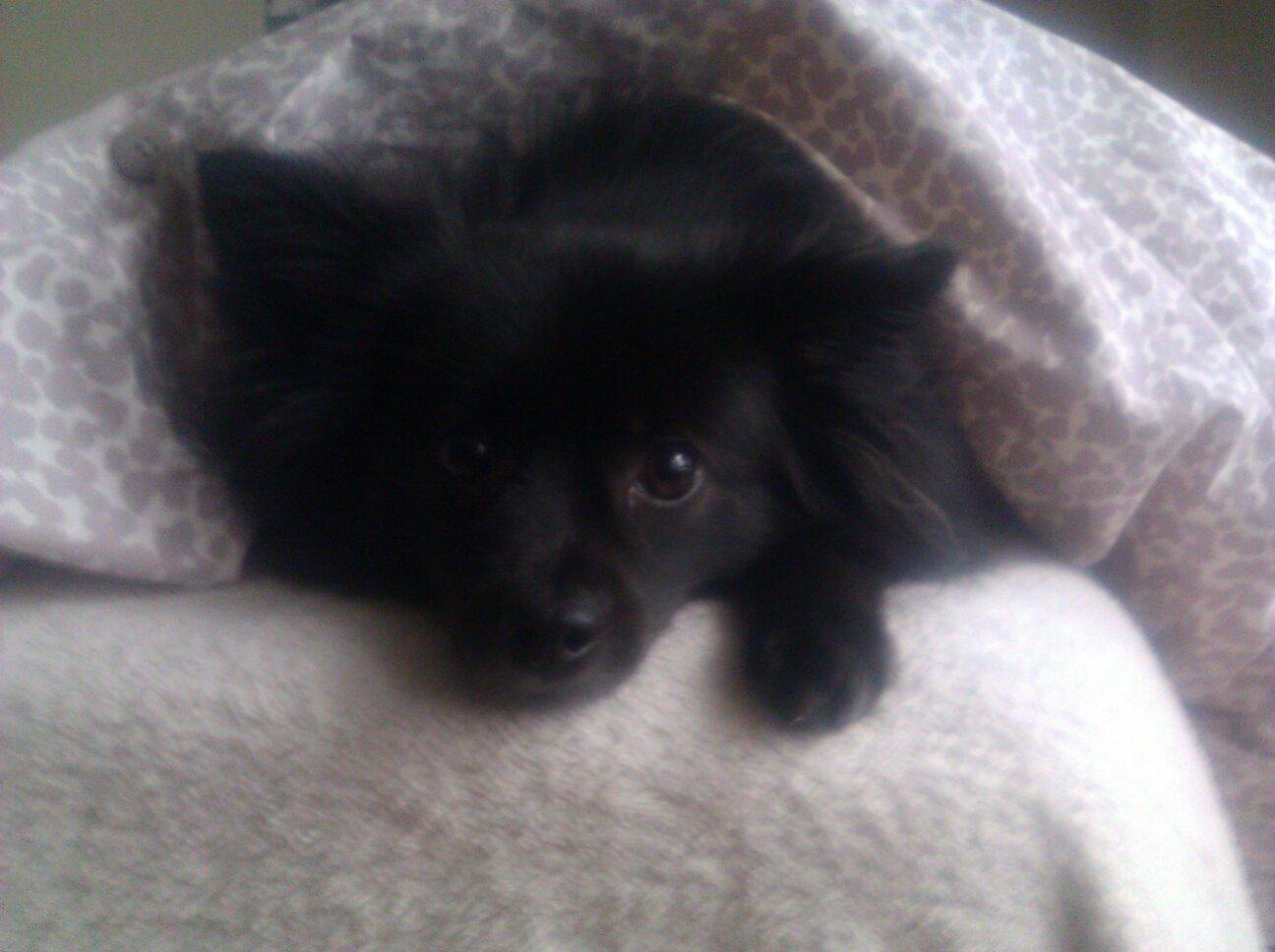 Violet the Schipperke/Pomeranian