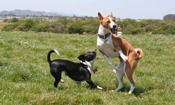 Bowpi the Basenji and a Chihuahua Mix