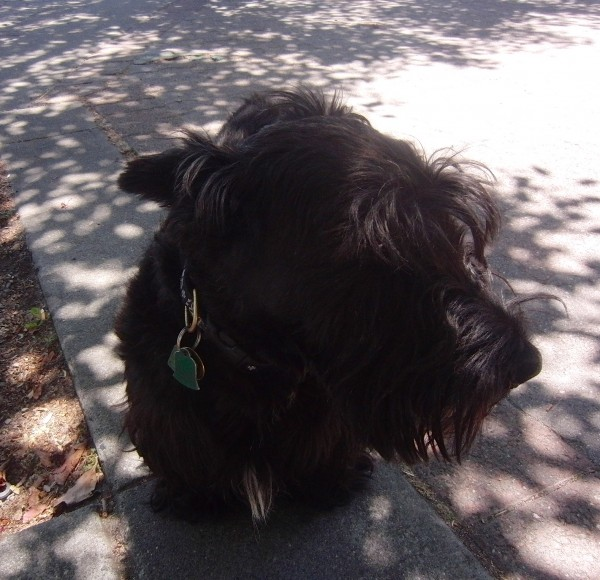 Scottie (AKA Scottish Terrier/Aberdeen Terrier)