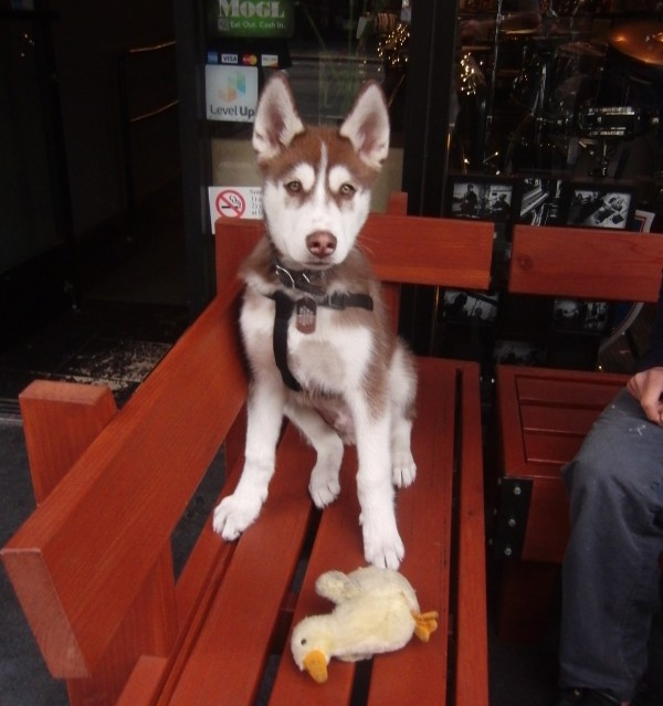 Dog of the Day: Ozzy the 4-Month-Old Husky Puppy - The ...