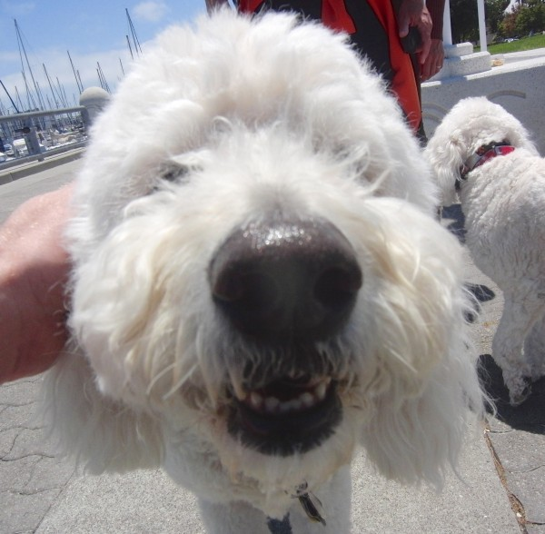 White Goldendoodle