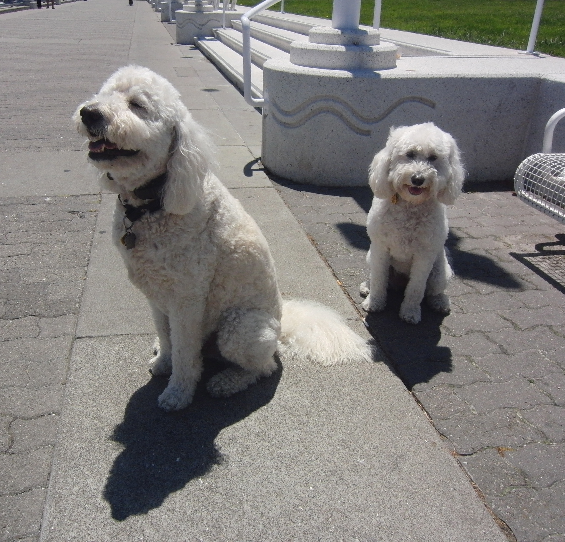 Two White Goldendoodles
