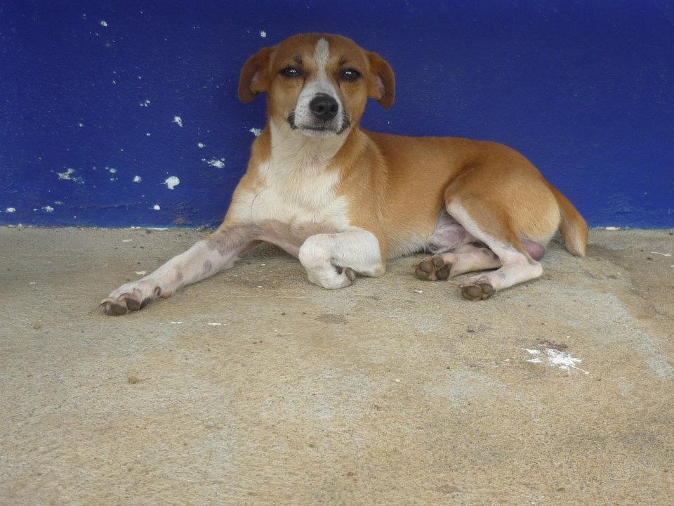 Costa Rican Street Dog