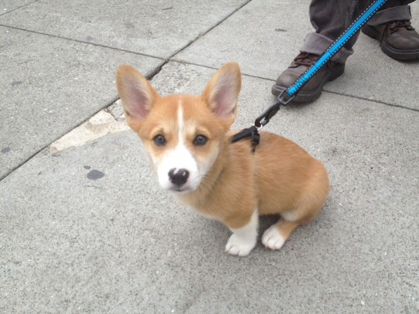 9-Week-Old Corgi Puppy
