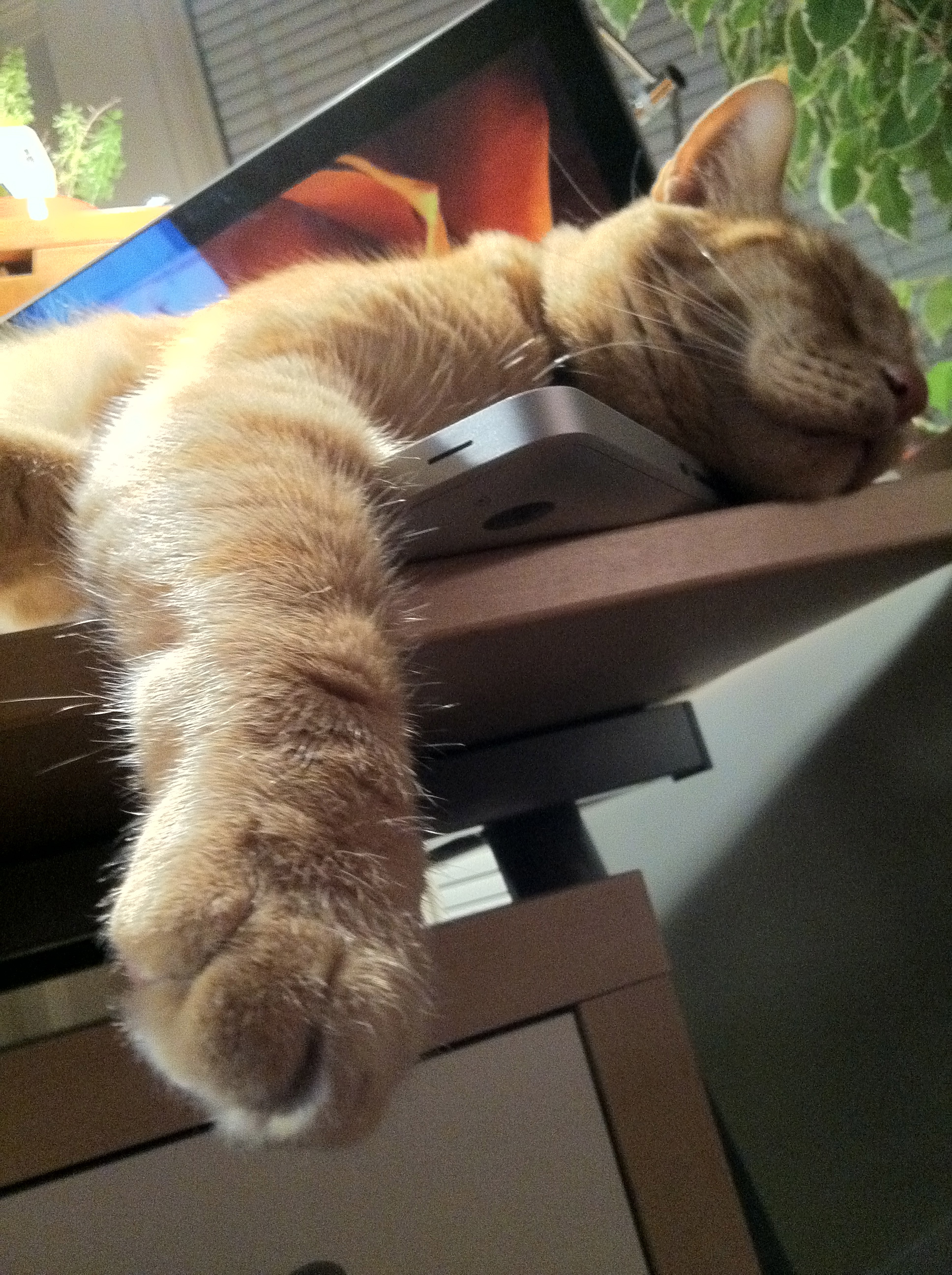 Lucca the Cat Snoozes on a Laptop