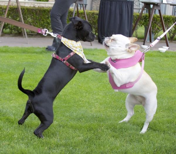 French Bulldog and Labrador Retriever Mix Puppy
