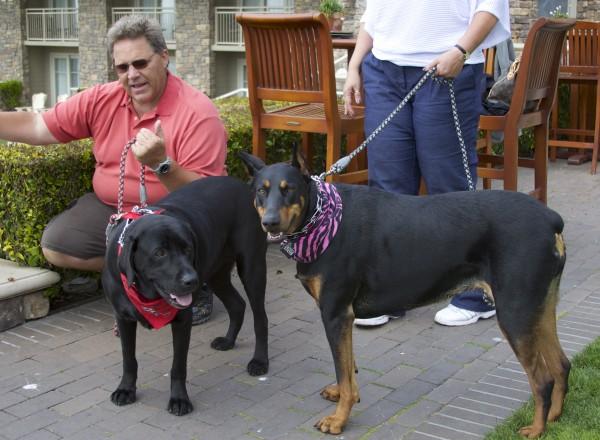 Labrador Retriever and Doberman Pinscher