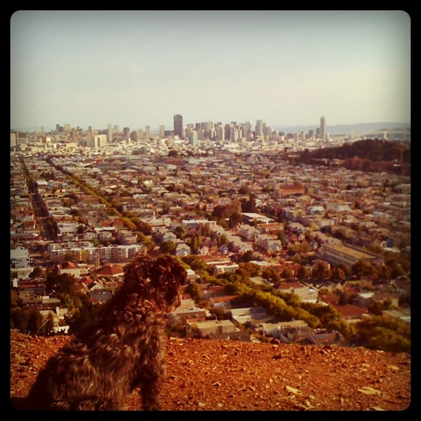 Devo the Dog Surveys his Domain from Bernal Heights