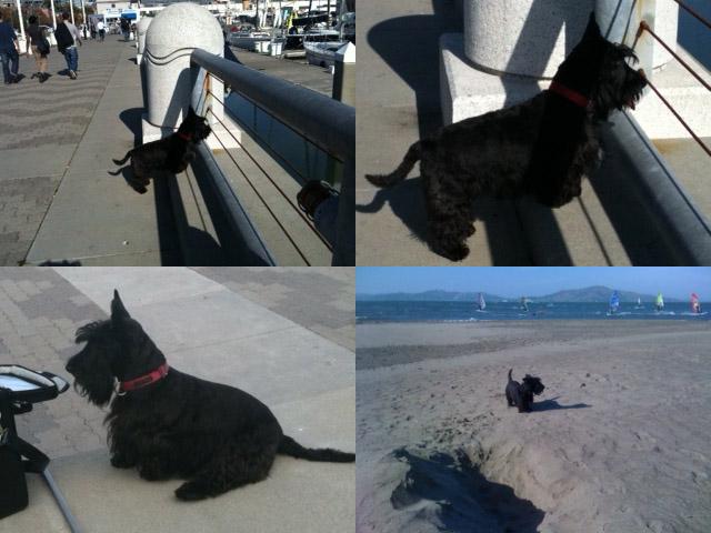 Scottie (AKA Scottish Terrier/Aberdeen Terrier)