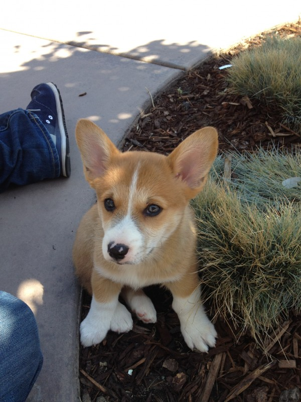 8-Week-Old Corgi Puppy